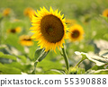 Sunflowers in Musashimurayama City in full bloom (2) 55390888