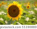 Sunflower (3) of Musashimurayama city which became full bloom 55390889