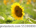 "Sunflower flowered in ""Himawari Garden Musashimurayama"" (4) 55390890"