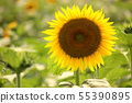 Sunflowers bathed in the summer sun (1) 55390895