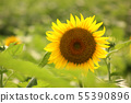 Sunflowers bathed in the summer sun (2) 55390896