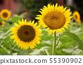Sunflower (6) of Musashimurayama city that became full bloom 55390902