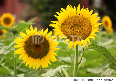Sunflower (6) of Musashimurayama city that became full bloom 55390902