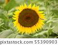 Sunflowers bathed in the summer sun (5) 55390903