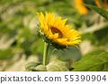 "A flowering sunflower at ""Himawari Garden Musashimurayama"" (8) 55390904"