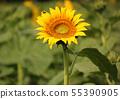 """Sunflower flowered in """"Himawari Garden Musashimurayama"""" (9) 55390905"""