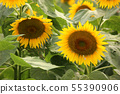 Sunflower (7) of Musashimurayama city that became full bloom 55390906