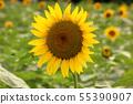 Sunflowers in Musashimurayama City in full bloom (8) 55390907