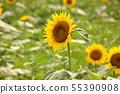 Sunflowers in Musashimurayama City in full bloom (9) 55390908