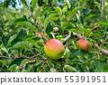 它即將吃,蘋果園的蘋果 55391951