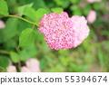 핑크 애나벨 꽃 55394674