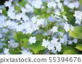 가쿠 수국 꽃 스미다의 불꽃 55394676