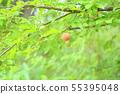 자두의 열매 55395048