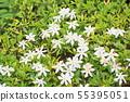 코쿠찌나시 꽃 55395051