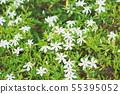 코쿠찌나시 꽃 55395052