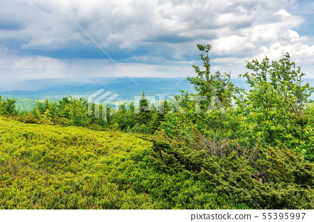 spruce tree on the edge of a grassy mountain 55395997