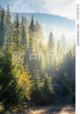 foggy sunrise in spruce forest 55397915