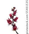 Hibiscus sabdariffa or roselle fruit 55401535