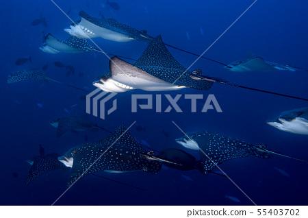 eagle ray manta while diving in Maldives 55403702