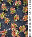 Begonia Blossoming Summer Flowers. Closeup Top View Backdrop 55412488