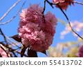 Yae Sakura (1) along the Myoseoji River in full bloom 55413702