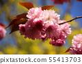 Yae Sakura (2) along the Myoseoji River in full bloom 55413703