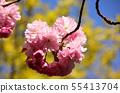 Yae Sakura (3) along the Myoseoji River in full bloom 55413704