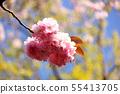 Yae Sakura (4) along the Myoseoji River in full bloom 55413705