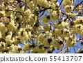 Turmeric cherry blossoms along the Myoseoji River in full bloom (2) 55413707