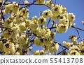 Turmeric cherry blossoms along the Myoseoji River in full bloom (3) 55413708