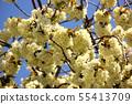 Turmeric cherry blossoms along the Myoseoji River in full bloom (4) 55413709