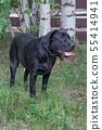 Black labrador retriever standing on green grass. 55414941