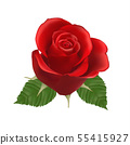 Blooming red Rose, vector, Isolated  flower 55415927