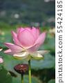 蓮花蓮花桃紅色蓮花 55424185