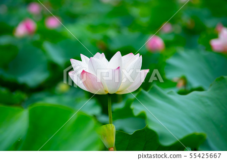 亞洲臺灣臺南白河蓮花Asia, Taiwan, Tainan Lotus 55425667