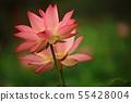 蓮花,花,紅百合,睡蓮,Ara蓮花,植物,風景,花田 55428004