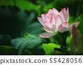 연꽃,꽃,홍련,수련,아라연꽃,식물,풍경,꽃밭 55428056