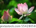 연꽃,꽃,홍련,수련,아라연꽃,식물,풍경,꽃밭 55428058