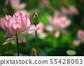 연꽃,꽃,홍련,수련,아라연꽃,식물,풍경,꽃밭 55428063