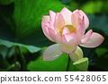 연꽃,꽃,홍련,수련,아라연꽃,식물,풍경,꽃밭 55428065