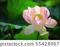 연꽃,꽃,홍련,수련,아라연꽃,식물,풍경,꽃밭 55428067