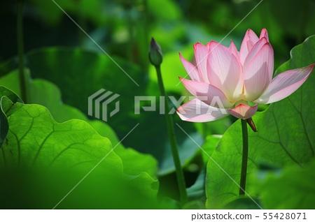연꽃,꽃,홍련,수련,아라연꽃,식물,풍경,꽃밭 55428071