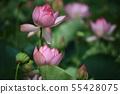 연꽃,꽃,홍련,수련,아라연꽃,식물,풍경,꽃밭 55428075