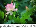 연꽃,꽃,홍련,수련,아라연꽃,식물,풍경,꽃밭 55428078