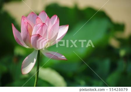 연꽃,꽃,홍련,수련,아라연꽃,식물,풍경,꽃밭 55428079