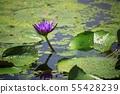 연꽃,꽃,홍련,수련,아라연꽃,식물,풍경,꽃밭 55428239
