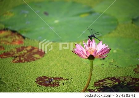 연꽃,꽃,홍련,수련,아라연꽃,식물,풍경,꽃밭 55428241