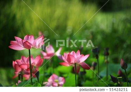 연꽃,꽃,홍련,수련,아라연꽃,식물,풍경,꽃밭 55428251