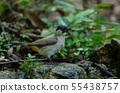 Beautiful bird Sooty headed Bulbul 55438757