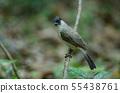 Beautiful bird Sooty headed Bulbul 55438761